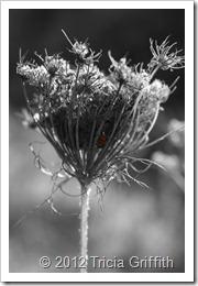 Ladybug - Tricia Griffith